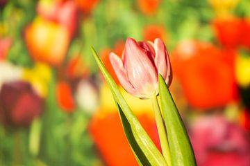 Voorjaar oranje tulp van Natascha Schut-Hoekstra