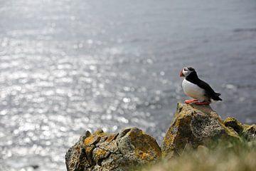 Papegaaiduiker op de uitkijk in IJsland
