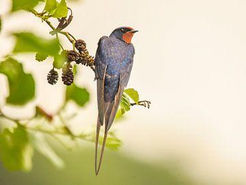 swallow sur Tara Kiers
