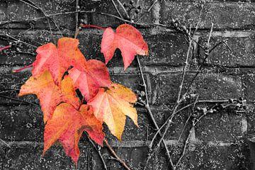 Ivy in herfstkleuren van Denis Feiner