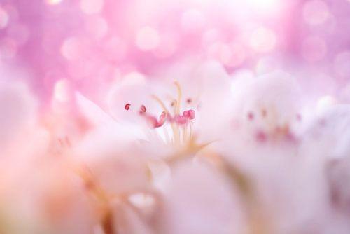 wilde kers roze van