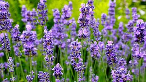 Lavendelpanorama