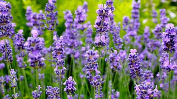 Lavendelpanorama van Ostsee Bilder