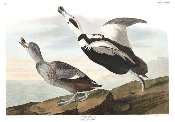 Indische Loopeend van Birds of America
