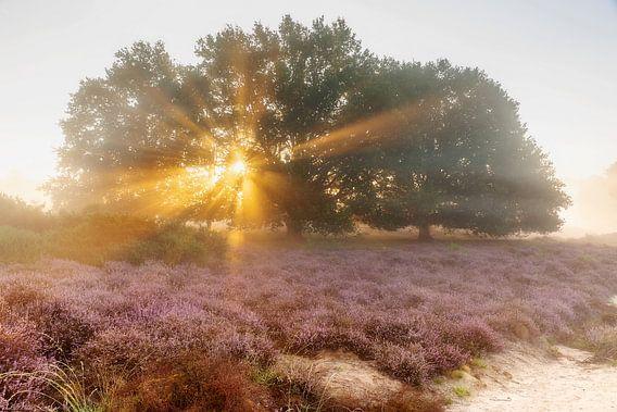 Zonnestralen boven de paarse heide