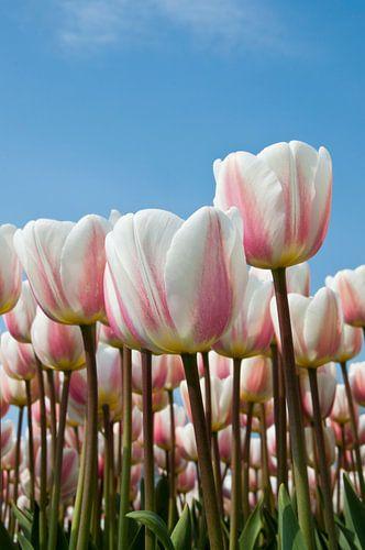 Witroze tulpen