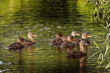 Alle Enten swimmen im Wasser von Art by Jeronimo