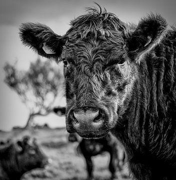 Black Bull / Zwarte Stier van