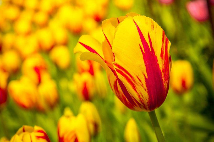 Een veld vol tulpen van Stedom Fotografie