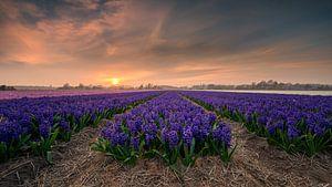Veld met hyacinten bij zonsondergang van