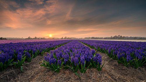 Feld mit Hyazinthen bei Sonnenuntergang von