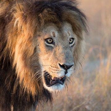 De Leeuwenkoning van Jos van Bommel