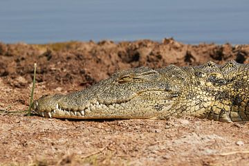 Krokodil van Jolene van den Berg