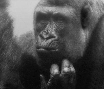Gorilla : Tierpark Blijdorp von Loek Lobel