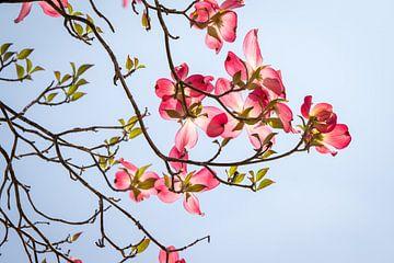 Roze bloesem van Marcel Alsemgeest
