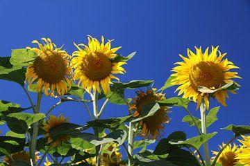 Zonnebloemen van Karina Baumgart