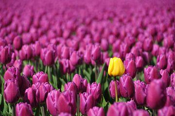 Één gele tulp in paars bollenveldveld van