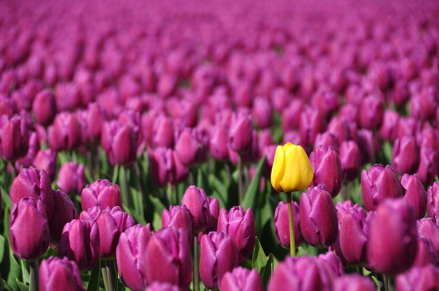 Één gele tulp in paars bollenveldveld