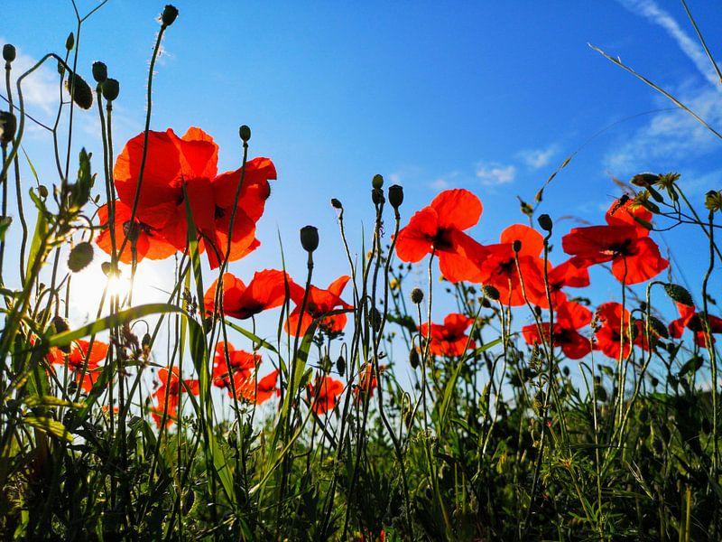 Field with poppies van Graham De With