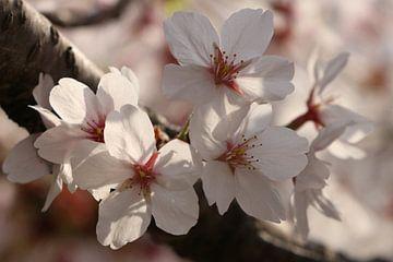 Sakura von Tazi Brown