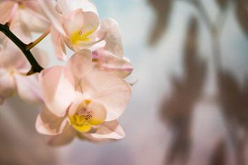 Weiße Phalaenopsis von Annick Woldring