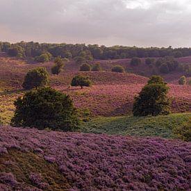 Endless hills full with purple blooming heather, summertime in National Park Veluwe, Netherlands. van wunderbare Erde