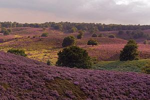 Endless hills full with purple blooming heather, summertime in National Park Veluwe, Netherlands.