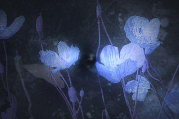 Blau Papaver van Christine Nöhmeier