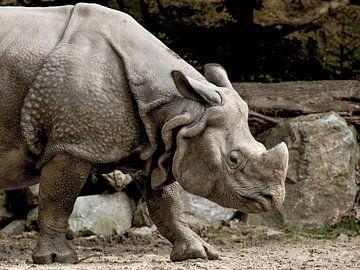 Rhinocéros indien : DierenPark Amersfoort sur Loek Lobel