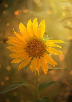 Sonnengelb von zwergl 0611