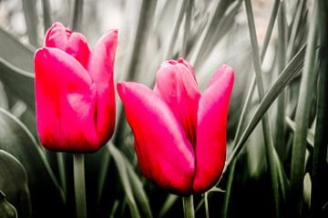 Tulpen in blad van Freddy Hoevers