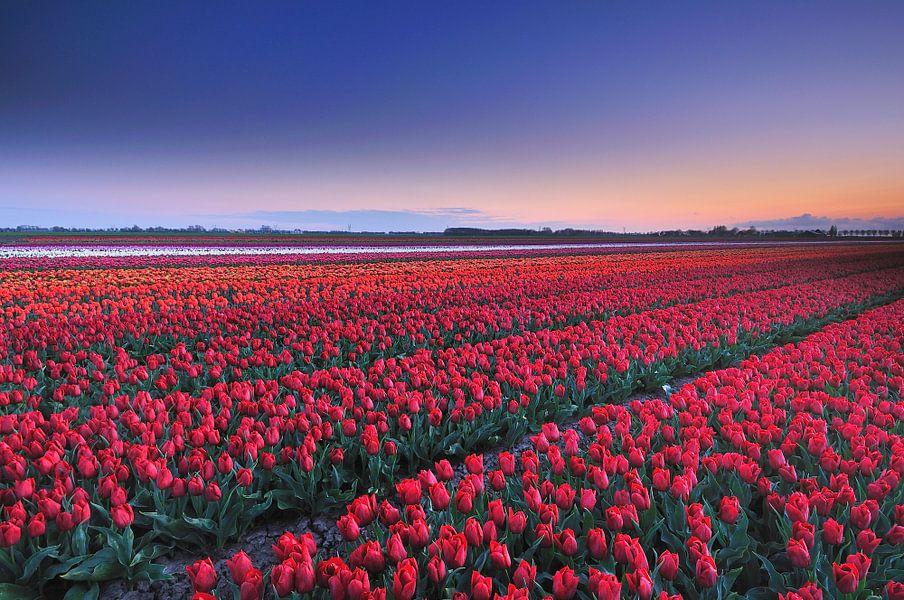 Rode tulpen van John Leeninga