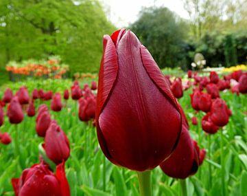 De rode tulp van Frans van Luit