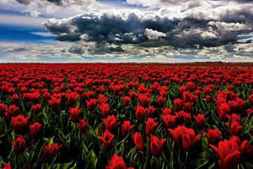 Rode Tulpen sur Cho Tang
