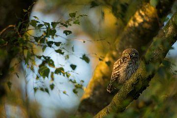 Kleine Eule im Baum im letzten Abendlicht von Jeroen Stel