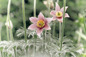 Blume VIII - Kuhschelle von