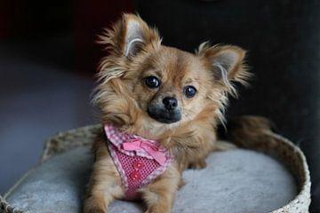 Chihuahua pup ligt in een mandje