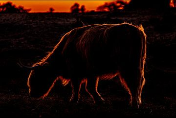 Schotse Hooglander grazend tijdens zonsondergang op de Groote Peel van @Pixelsenses