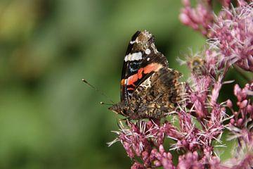 Ein niederländischer Schmetterling in der Avifauna von Johnno de Jong