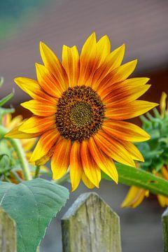 Sonnenblume, helianthus annuus von Lars-Olof Nilsson