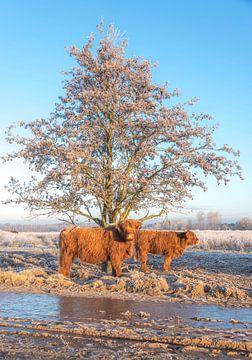 Schotse Hooglander met kalf in winterlandschap van Ans Bastiaanssen