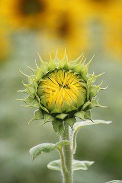 kesse Sonnenblume von Augenblicke im Bild