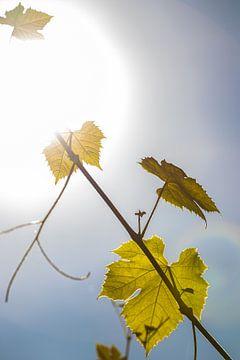 Feuilles de vigne, soleil. sur Frank Slaghuis