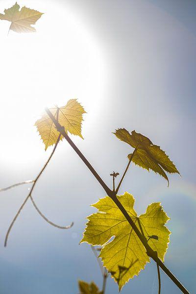 Druivenbladeren, Zon. van Frank Slaghuis