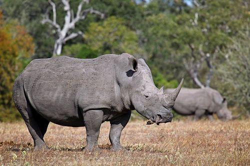 Nashörner in Südafrika von
