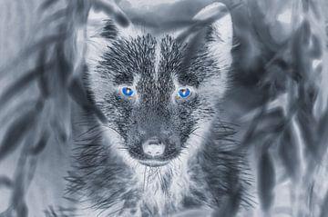 Wolf met blauwe ogen van