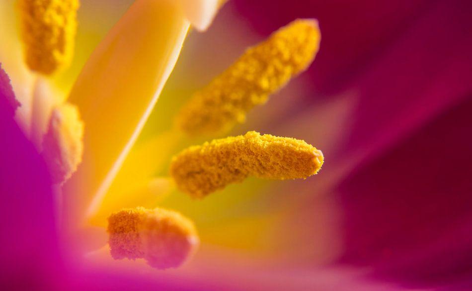 Tulp Macro van Paula Darwinkel