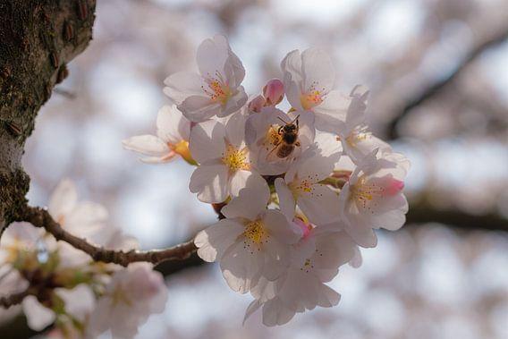 Cherry Blossom van Kurt Krause