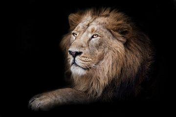 Stolze männliche Löwe König sitzen in der Dunkelheit Pfote nach vorne im Profil, schwarzer Hintergru von Michael Semenov