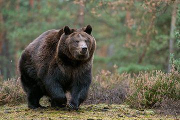Bruine beer ( Ursus arctos ) in een snelle run over een open plek in het bos, Europa. van wunderbare Erde